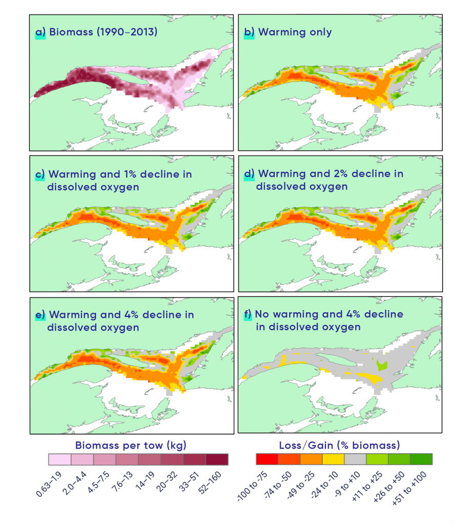 Six maps (labelled A through F) of the Gulf of St. Lawrence show the distribution and abundance of Greenland halibut. Map A shows the actual biomass data for the period 1990 to 2013. Map B displays a scenario involving warming only where there is a loss in biomass in the majority of the region with pockets that gain biomass. The scenarios shown in panels C, D, and E involve the same level of warming as in panel B, but this warming is accompanied by different levels of oxygen decline (c =1% decline, d = 2% decline, and e = 4% decline). The impacts of warming alone (B) and warming accompanied by a 4% saturation decline in dissolved oxygen (E) appear similar with the colour coding used, although warming alone reduced high-density areas by 49%, whereas the two stressors combined caused a 57% reduction. Decline in dissolved oxygen without the increase in temperature only reduced biomass by 2%.