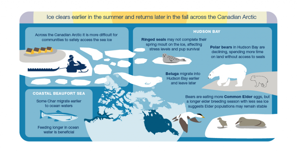 Illustration of a hunter on a snowmobile on the sea ice and various arctic species showing the impacts of ice clearing earlier in the summer and returning later in the fall across the Canadian Arctic. Across the Canadian Arctic it will be more difficult for communities to safely access the sea ice. On Hudson Bay, ringed seals may not complete their spring moult on the ice, affecting stress levels and pup survival. Polar bears in Hudson Bay are declining and spending more time on land without access to seals. Beluga migrate into Hudson Bay earlier and leave later. Bears are eating more Common Elder eggs, but a longer elder breeding season with less sea ice suggests Elder populations may remain stable. On the coastal Beaufort Sea, some char are migrating earlier to ocean waters and feeding longer in ocean water which is beneficial.