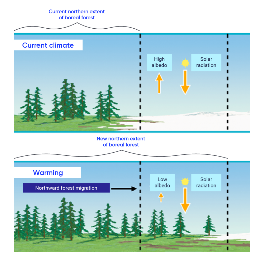 """Top illustrated panel shows the current climate, with a boreal forest on the left and snow covered ground on the right. An arrow points upward from the snow to the sky and is labelled """"high albedo."""" The sun is in the sky with an arrow going toward the snow, which is labelled """"solar radiation."""" The bottom panel shows the new northern extent of the boreal forest with warming due to climate change. In this panel, the boreal forest extends to the right where the snow used to be. Now, low albedo is shown coming from the forest, and solar radiation continues to come down from the sun."""