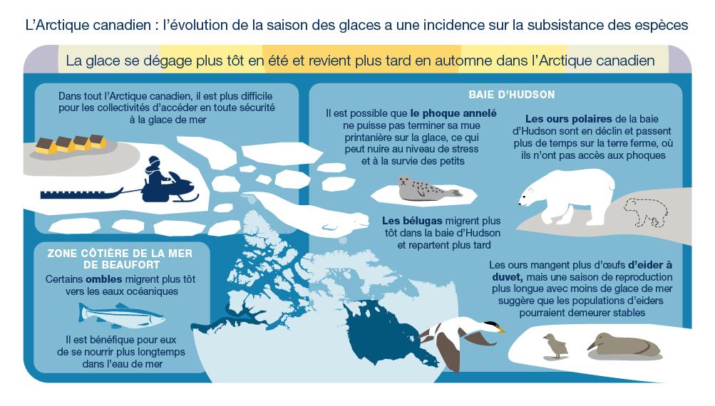 Illustration d'un chasseur en motoneige sur la glace de mer et diverses espèces arctiques qui montre les répercussions du dégagement des glaces plus tôt en été et de leur retour plus tard en automne dans l'Arctique canadien. Dans toute cette zone, il sera plus difficile pour les communautés d'accéder en toute sécurité à la glace de mer. Dans la baie d'Hudson, les phoques annelés peuvent ne pas terminer leur mue printanière sur la glace, ce qui affecte les niveaux de stress et la survie des petits. Les ours polaires de la baie d'Hudson sont en déclin et passent plus de temps sur terre, sans accès aux phoques. Les bélugas migrent dans la baie d'Hudson plus tôt et en repartent plus tard. Les ours mangent plus d'œufs d'eider à duvet, mais une saison de reproduction de l'eider plus longue avec moins de glace de mer suggère que les populations d'eider peuvent rester stables. Sur la côte de la mer de Beaufort, certains ombles migrent plus tôt vers les eaux océaniques et se nourrissent plus longtemps dans ces eaux, ce qui est bénéfique.