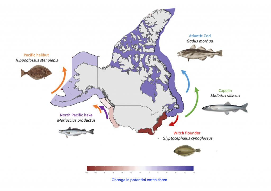 Map of the United States and Canada including surrounding waters showing projected shifts in the distribution of representative commercial transboundary fish species targeted by American and Canadian fisheries by 2050 relative to 2014 under a high-emission climate change scenario. Pacific halibut are expected to shift northward and the potential catch share is expected to increase slightly. Atlantic Cod and Capelin are expected to shift northward, resulting in a moderate increase in catch share. North Pacific hake is expected to shift north and catch share is expected to decline slightly. Witch flounder is expected to shift southward and catch share will significantly decline