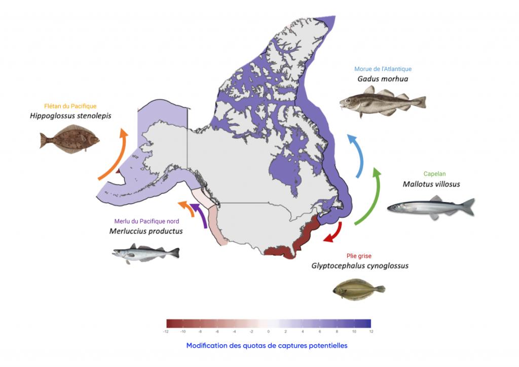 Carte des États Unis et du Canada, y compris les eaux environnantes, montrant les changements prévus dans la répartition des espèces de poissons transfrontalières commerciales représentatives ciblées par les pêcheries américaines et canadiennes d'ici 2050 par rapport à 2014, selon un scénario des changements climatiques à émissions élevées. Le flétan du Pacifique devrait se déplacer vers le nord et le partage éventuel des prises devrait augmenter légèrement. La morue de l'Atlantique et le capelan devraient se déplacer vers le nord, ce qui entraînera une augmentation modérée du partage des prises. Le merlu du Pacifique Nord devrait se déplacer vers le nord et le partage des prises devrait diminuer légèrement. La plie grise devrait se déplacer vers le sud et le partage des prises diminuera considérablement.